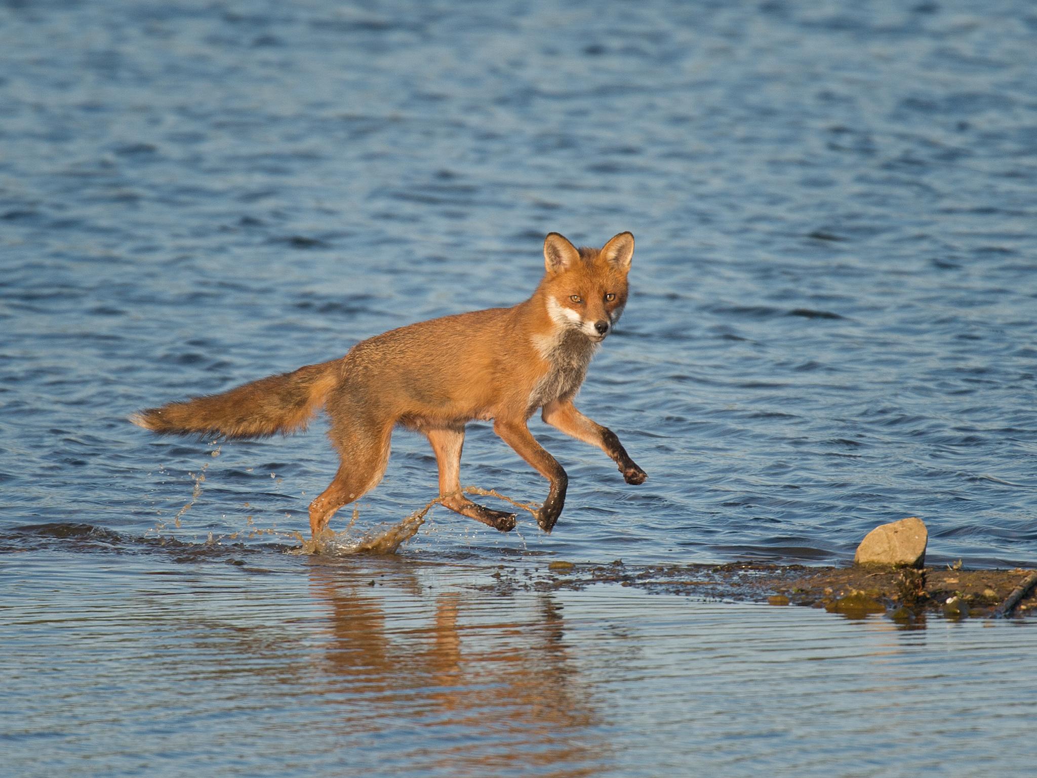 Fox - paddling pose