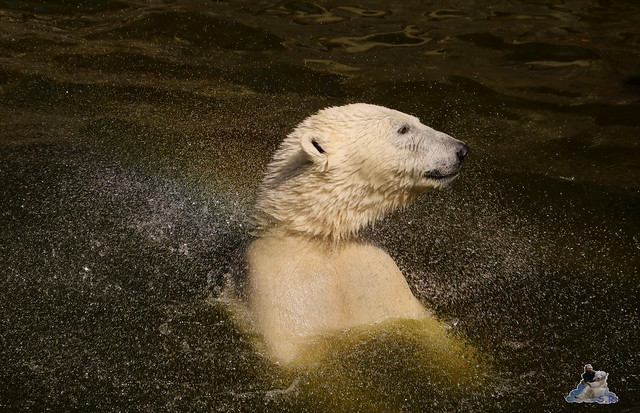 Eisbär Fiete im Zoo Rostock 07.05.2016  0257