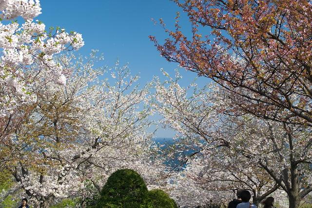 20160508手宮公園の桜_02