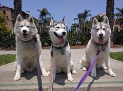 Nanook, Nala, & Nika