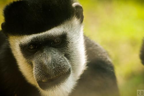 portrait jaune zoo primate parc singe mammifère animalier maubeuge colobe guéréza