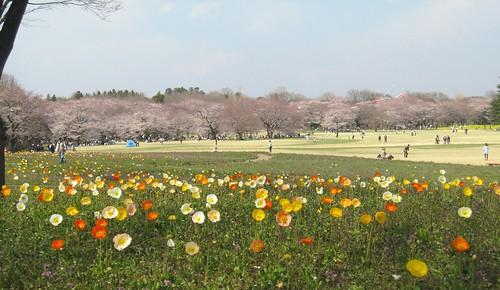 ポピーと桜(昭和記念公園) by Poran111
