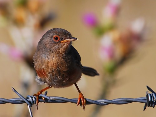 Dartford warbler - female