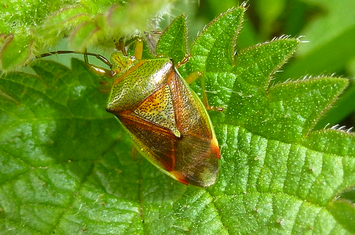 Birch Shield Bug