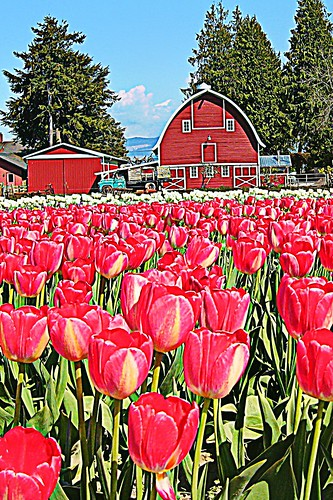 04-20-12 Tulip Town by roswellsgirl