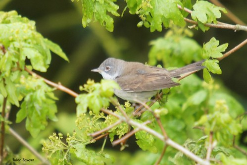 The Whitethroat by julian sawyer