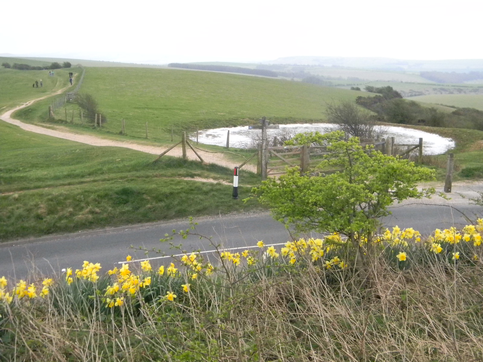 Daffs with dewpond Hassocks to Lewes