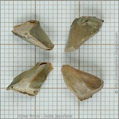 Abies firma seeds - Jodła japońska nasiona