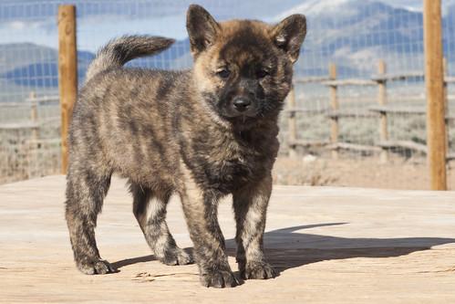 Ayu-Litter1-Day47-Puppy3-Male(Leo)-b
