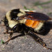 Tri-colored Bumble Bee - Photo (c) Kent McFarland, some rights reserved (CC BY-NC-SA)