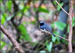 Black-throated blue warblers