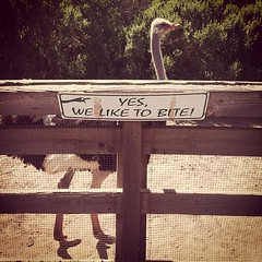 Yes, we like to bite #ostrich #solvang #instagram #iphone
