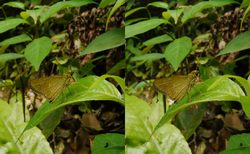 Borbo cinnara, stereo parallel view