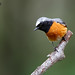 Common Redstart, Phoenicurus phoenicurus, adult male.