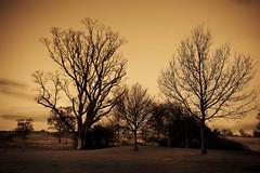trees in yellow sky