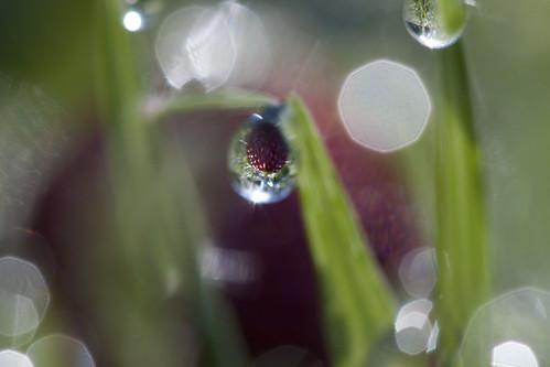 flower macro grass sunrise canon dewdrops berry maryland drop petal dewdrop dew blade speedlite canonef100mmf28usmmacro canoneos500d 430exii t1i karampatsos jasonmk
