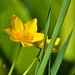 Marsh marigold - Caltha palustris