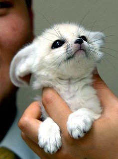 Baby Fennec Fox Just because