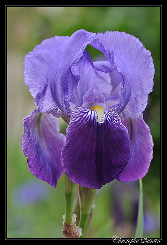 Iris (Iris barbata)