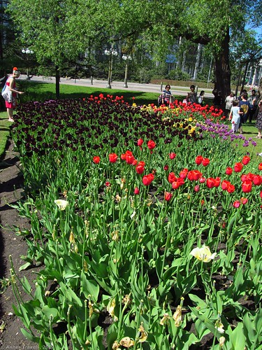 Tulip display in Major's Hill Park, Ottawa, Canada