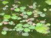 foglie acquatiche