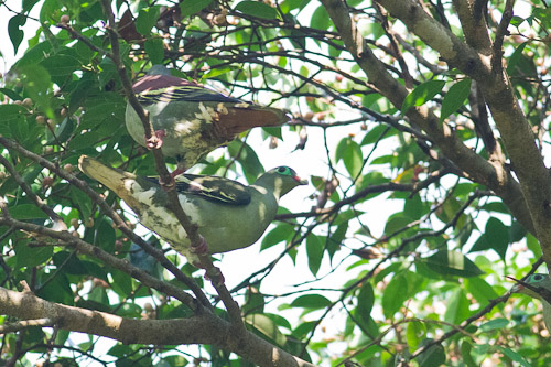 male and female Thick-billed Green-Pigeon