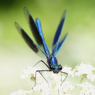 """Calopteryx splendens"" - weidebeekjuffer ( male )"