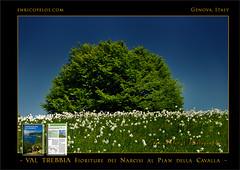 PASSEGGIATE A LEVANTE - VAL TREBBIA Narcisi al Pian della Cavalla 5 - ph Enrico Pelos