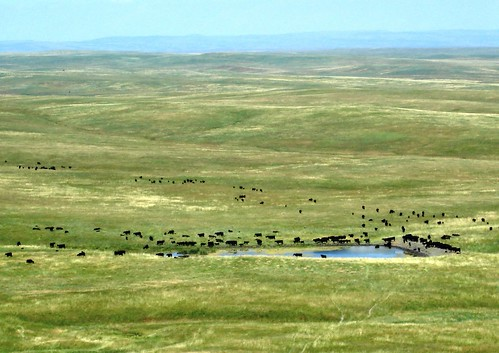 A herd of cattle gather around a stock pond on the vast Oglala National Grasslands.