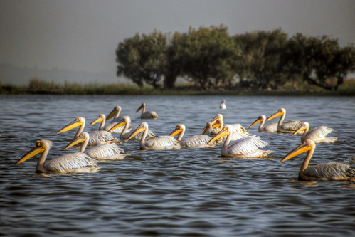 pelicans on lake tana
