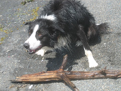 border collie(1.0), dog breed(1.0), animal(1.0), dog(1.0), pet(1.0), karelian bear dog(1.0), mammal(1.0),