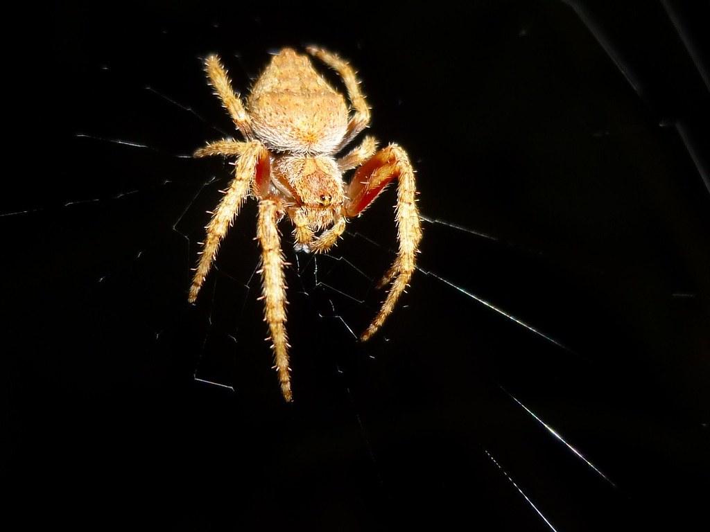Eriophora Pustulosa Garden Orb Web Spider Epitree Flickr