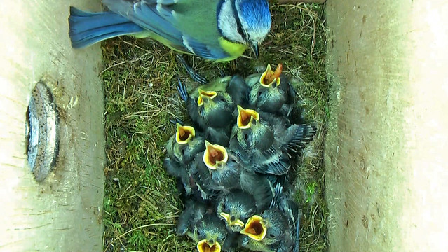 Blue Tits in Nest Box