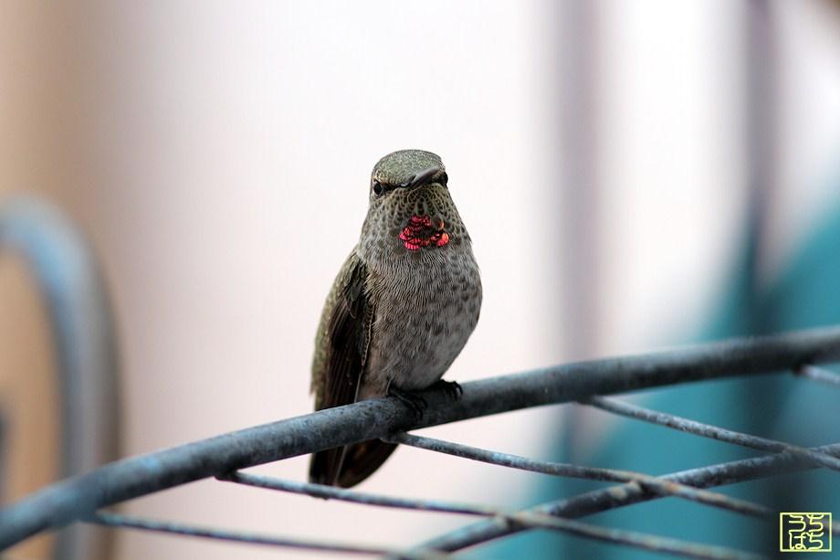 immature Anna's Hummingbird 052512
