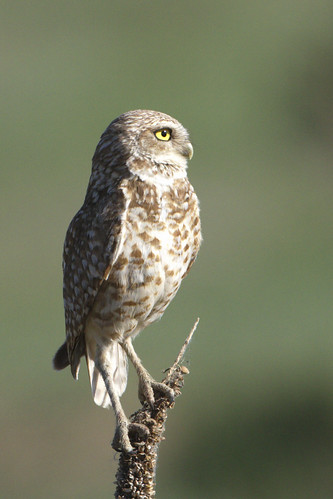 Another burrrowing owl pose.