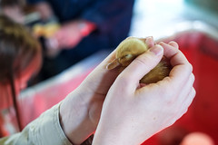 Baby Animals at Indian Ladder Farms - Altamont, NY - 2012, May - 03.jpg by sebastien.barre
