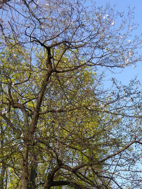 Лошица Та самая магнолия кобус, посаженная Ефстафием Любанским на День Рождение жене Ядвиге, 2012