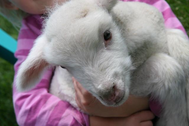 baby sheep 5