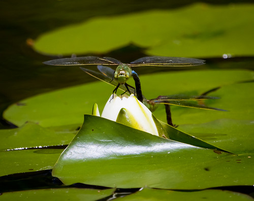 Dragonfly on a Water Lily by Ricky L. Jones Photography
