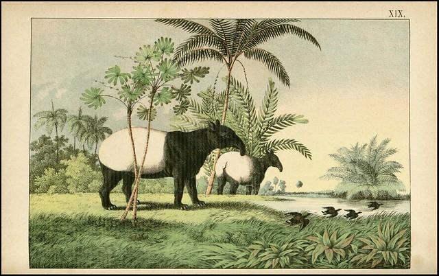 zoological chromolithograph - Le tapir de l'Inde