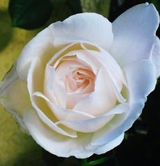 Rose weiß 4