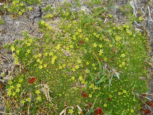 Mossy Cyphel (Minuartia sedoides)