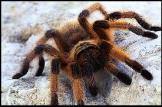 ikea-tarantula