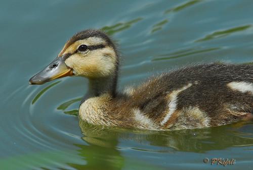 Duckling (Mallard) by pkefali