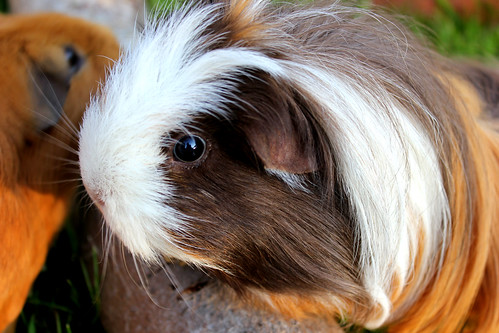 Brownie - (The Guinea Pig) by Matt Farrell