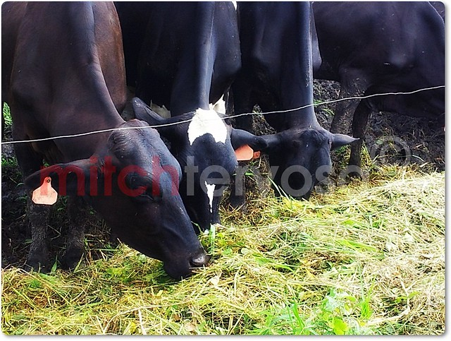 Cows eating silage