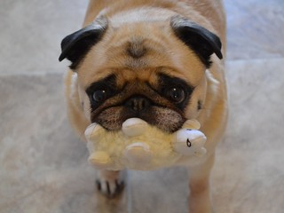 Bailey Puggins and her new toy lamb | by DaPuglet