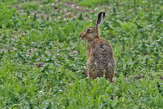 Hare stranded  Westerfield 28.4.2014 (2)