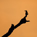 Kingfisher silhouette by gerdavs