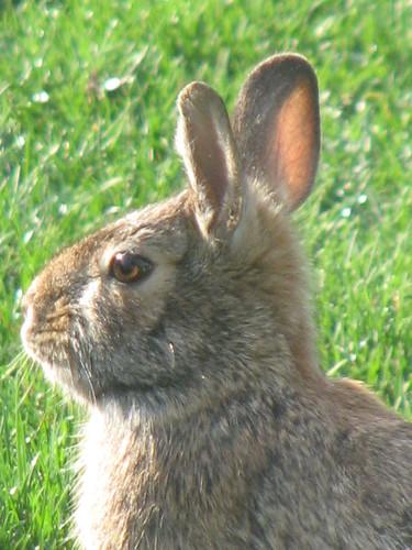 Spring Bunny 004